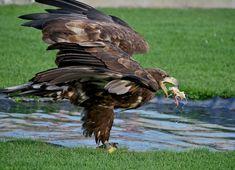 Birds Of Prey, Bald Eagle, Animals, Buzzard, Villach, Road Trip Destinations, Animales, Animaux, Animal