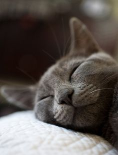 Blue cat smiling face while sleeping
