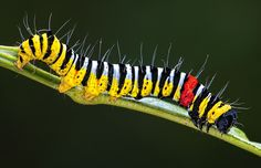 Caterpillars are as colourful as the moths they grow into, often more so. This is the creeping body of the caterpillar of a noctuid moth (Noctuidae sp.), taken in north Queensland's rainforest by Kaisa and Stanley Breeden. via Australia Geographic