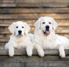 Pictures of white Golden Retrievers