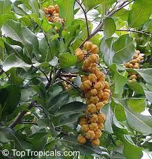 Image result for cupaniopsis anacardioides