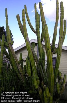 San Pedro Cactus (trichocereus pachanoi)(these appear to have survived the freezes)