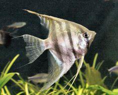 Striped Angelfish (50gal Fresh Water)