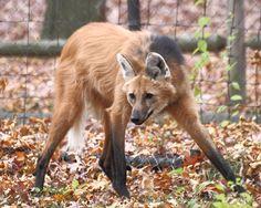Maned_Wolf_11,_Beardsley_Zoo,_2009-11-06.jpg 3,240×2,592 pixels