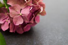 A nature photograph of an aging pink cluster of hydrangea resting on a blue slate rock background.  Title: Close-Up Hydrangea on Slate Photographer: Melissa Fague Genre: Nature Photography Get prints and usage license: www.pipafineart.com #awesomeearth #awesome_earthpix #fantastic_earth #therare_earth #nature #NatureGeography #nuc_mbr #nature_perfection #naturelovers #naturelover #naturephotography #ilovenature #natureaddicts #natureporn #mothernature #naturephoto #flowers #flowerstagram…