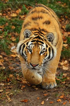 Male Amur Tiger Cub Walking in Stalking Mode. (by *Sagittor).