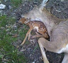 "Ilse Singer ""Someone out there who thinks hunting is a ""sport"" ..explain this to me. A dead doe. A baby clinging to her not yet cold body. Explain how this exhilarates you. And how you have a god given right to to kill, because its fun."""