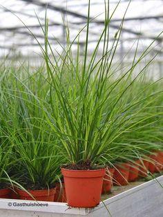 Grassen In Pot.30 Beste Afbeeldingen Van Grassen Varens In 2015 Boerderij Tuin