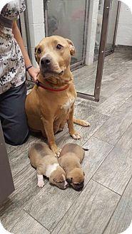 New York, NY - Labrador Retriever/Pit Bull Terrier Mix. Meet Sassy, a dog for…