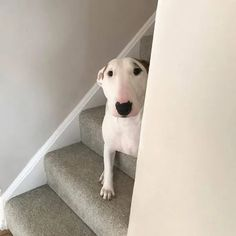 12 Reasons English Bull Terriers Are The Worst Indoor Dog Breed Of All Time - Dog Red Line Cute Puppies, Cute Dogs, Dogs And Puppies, Doggies, Corgi Puppies, English Bull Terriers, Bull Terrier Dog, Best Dog Breeds, Best Dogs