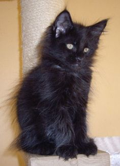 Gorgeous black maine coon kitten from rockoon maine coons
