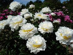 Brooks Gardens Peonies — Cheddar Surprise peonies plant-most fragrant peonies at the Oregon Brooks Gardens peony farm