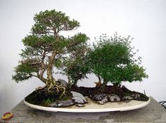 Bonsaï & Penjing - Snow rose - Serissa japonica - Rubiaceae - 25 years old - Created by Quinquan Zhao - donated by Soc de bonsai & penjing de MTL mC20100629 132 by fotoproze, via Flickr