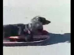 Wiener Dog riding Skateboard - YouTube