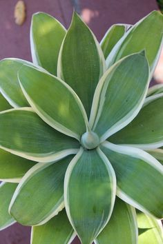 One of the most eye catching was Agave attenuata 'Ray of Light', with white-trimmed, light green leaves in sculptural symmetry. Young plants, about a foot across in gallon-size nursery containers, are ready made for a terra-cotta pot displayed on a patio table.