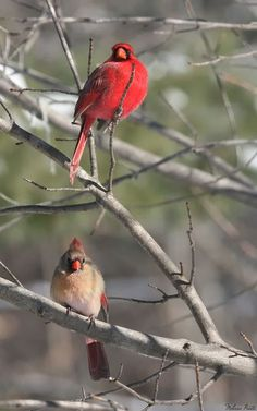 Male and female cardinals, beautiful creatures of God...