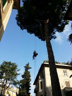 Roma Parioli Pinus pinea