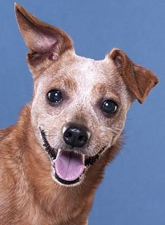 Pictures of Pepper a Chihuahua for adoption in Chicago, IL who needs a loving home.
