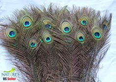 50 Natural Peacock Eye Feathers 2530 inches  by naturesfeathers, $34.99