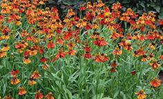 Sommerschnitt für Blütenstauden -  Bei vielen Staudenarten ist ein Rückschnitt gleich nach der Blüte sinnvoll. Er verhindert die Selbstaussaat, verlängert die Blütezeit und die Lebensdauer der Pflanzen.