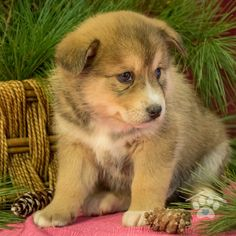 ADOPTED - Hi, my name is Hank! I am a handsome male Pomsky puppy. I love to run and play, but I'm a little reserved at first. Some would say I am the shy one of the bunch. I love other dogs and my siblings and can play with them for hours. Pomsky Breeders, Pomsky Puppies For Sale, I Love To Run, Puppy Breeds, Friends Forever, Siblings, Corgi, Adoption, Handsome