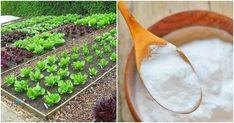 Cantaloupe, Succulents, Fruit, Plants, Diy, Bricolage, Succulent Plants, Do It Yourself, Plant