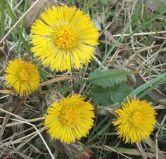 """Herb of the Day Coltsfoot  Medicinal Uses: The plant received the Latin name of Tussilage because the word meant, """"cough dispeller,"""" one of the usages of the plant.                ..."""