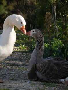 Pilgrim geese: mum, dad and watch closely: the baby girl - more pics on www.TheRawFoodGardenPlanner.com