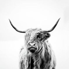 Highland Cow Canvas, Highland Cow Art, Scottish Highland Cow, Scottish Highlands, Highland Cow Painting, Galloway, Cute Cows, Fox Print, Thing 1