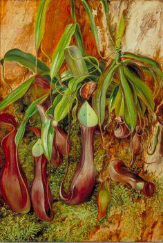 A Bornean Pitcher Plant, Sarawak, Borneo - Marianne North 1876 Vintage Botanical Prints, Botanical Drawings, Botanical Art, Botanical Illustration, Botanical Gardens, Beautiful Paintings Of Flowers, Marianne North, Pitcher Plant, Easter Flowers