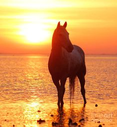 Horse at sundown in the water