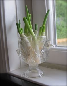 DIY An Endless Supply Of Fresh Green Onions | Cut Ends Rooted in Water