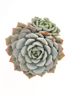 """Echeveria 'Azulita', (Spanish for """"little blue one""""), is an Echeveria minima hybrid, and as a result, forms miniature rosettes to 2″ in diameter with icy blue leaves and reddish leaf …"""