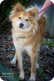 3/29/16 Plano, TX - Sheltie, Shetland Sheepdog Mix. Meet Henry, a dog for adoption. http://www.adoptapet.com/pet/15188303-plano-texas-sheltie-shetland-sheepdog-mix