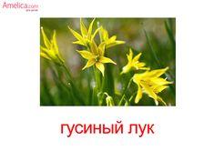 Название полевых цветков, фото, описание. Синие и желтые 10