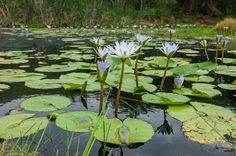 A fairytale pond covered with Nymphaea nouchali var. caerulea, the Cape blue waterlily