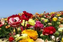 Flower Fields - open March 1st