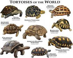 Fine art illustration of various species of the world's tortoises. Tortoises of the World Red Footed Tortoise, Baby Tortoise, Giant Tortoise, Tortoise Cage, Tortoise Habitat, Tortoise Turtle, National Geographic, Strix Nebulosa, Art Du Monde