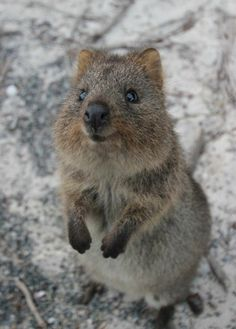 Cute Creatures, Beautiful Creatures, Happy Animals, Cute Animals, Quokka, Four Legged, Nature Pictures, Elephants, Mother Nature