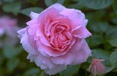 Lambert Closse Canadian Explorer rose.