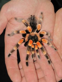 Polly the Mexican Red-Kneed Bird-eating spider