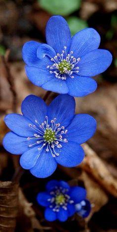 Violette Waldblume Hepatica-nobilis, Tschechische Republik - I like that :) - Blumen & Pflanzen