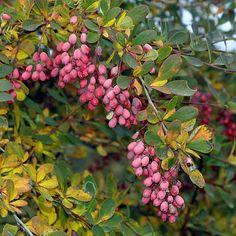 Berberis vulgaris - Sauerdorn