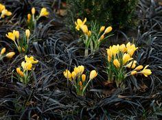 Black mondo grass and Crocus 'Golden Yellow'