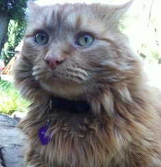 My cat Syrus. Cara, Niles, Michigan. 10/31/12
