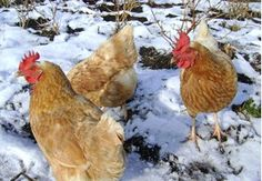 When I talk to people about my chickens during the winter, many people ask me if I have to bring them inside over the winter. Of course the thought of my red birds running around making a mess, roosti