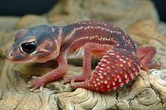 Nephrurus levis levis 'deep red stripe' #geckos #lizards