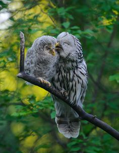 Ural Owls ~ mother & baby owlet - so sweet! Beautiful Owl, Animals Beautiful, Pretty Birds, Love Birds, Animals And Pets, Cute Animals, Funny Animals, Owl Bird, Barn Owls