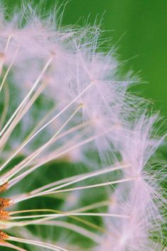 Closed Up Photograph of Dandelion Seeds