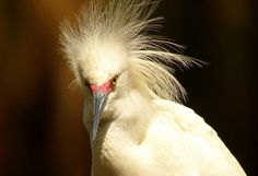 A diamond in the rough photo! Just found this among my images from the St. Augustine Alligator Farm this spring. A little photoshopping and voila: A fun Snowy Egret image! https://www.facebook.com/photo.php?fbid=10150957030311836=o.355103211184724=1